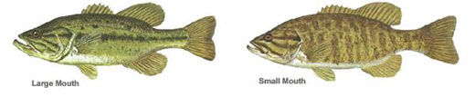 Examples of Large & Small Mouth Bass